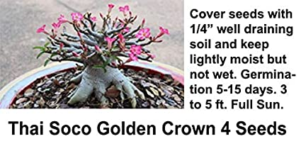 RootsOfLife Adenium Seeds Thai Socotranum Golden Crown Seeds - 4 Seeds