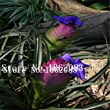 100/bag Tillandsia Seeds Tillandsia Cyanea Bonsai Flower Seeds rare flower for home decoration