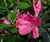 Azalea Rhododendron 'Southern Charm' Qty 40 Live Flowering Evergreen Plants