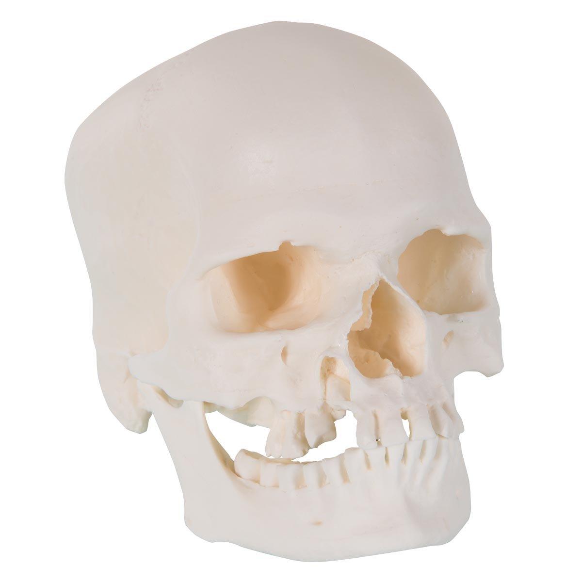 9.1 x 6.5 x 6.7 9.1 x 6.5 x 6.7 3B Scientific A29//1 Microcephalic Human Skull Model