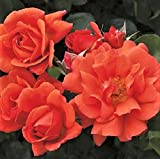 Above AllTM Orange Climbing Rose Rosa cv. 'CHEWesic' PPAF Create a spectacular color show in your garden with this vigorous climber. An improved version of Westerland, it has more flowers per cluster, more petals and improved flower productio...