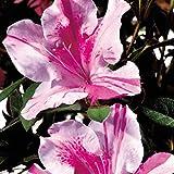 Encore Azalea 1 Gallon Autumn Twist, Multicolor Re-Blooming Evergreen Shrub