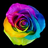 Rainbow Roses - MultiColored Natural Roses - Farm Fresh