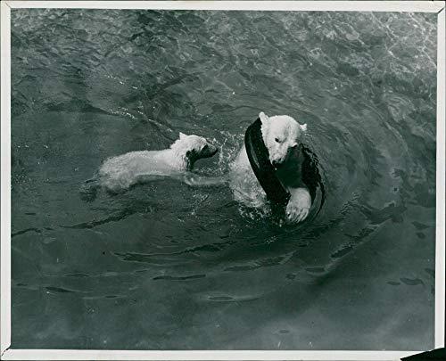 Vintage photo of The polar bear:playtime for brumas.