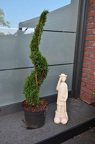 Formschnitt  Pon  Pom lebensbaum 120 cm vom Topfrand