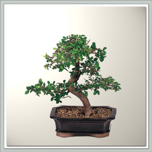 Tree Elm Bonsai Chinese (Chinese Elm Bonsai Tree I | Nursery Direct from Joebonsai)