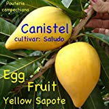 ~CANISTEL~ FRUIT TREE Yellow SAPOTE Pouteria campechiana LIVE Sml Starter