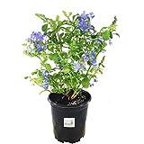 Sandys Nursery Online Plumbago auriculata Imperial Blue Gallon Pot