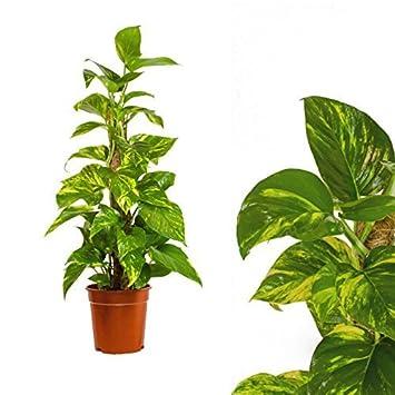 Epipremnum Aureum Moosstab 80cm Efeutute Zimmerpflanze Buropflanze