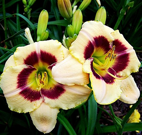 Candy Daylily (Custard Candy Daylily: 10 Bareroot Hemerocallis 1-2 Fans Tennessee Grown)