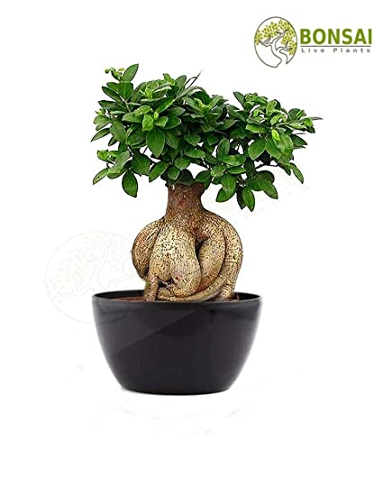011ecd601 Bonsai Live Plants Ginseng Grafted Ficus Bonsai for Home Office Decor with  Ceramic Pot - 6 Years Old  Amazon.in  Garden   Outdoors