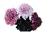 Burpee Summer Berries Scabiosa Seeds 40 seeds