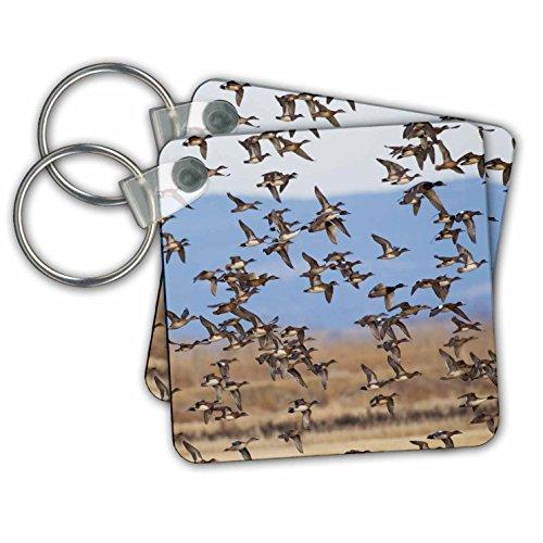 Danita Delimont - Ducks - Large Flock of Ducks - Key Chains - set of 2 Key Chains (kc_278074_1) - Wigeon Set