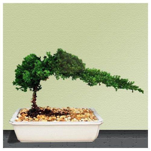 Bonsai Tree live Juniper House Plant Indoor Houseplant Fresh Flower Best Gift