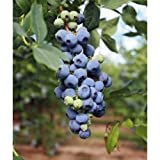 "Blueberry ""Misty"" High Bush Live Plant Vaccinium"
