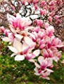 5 Flowering Chinese Magnolia Seeds Lily Flower Tree Fragrant Tulip Magnol