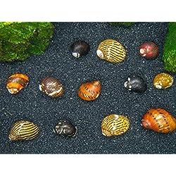 Aquatic Arts 20 Live B-Grade Nerite Snails | Freshwater Aquarium Algae Control/Cleaner | Safe in Tetra/Guppy/Betta Tanks
