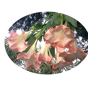 Emerald TM Angels Trumpet Brugmansia Pink Peach Versicolor 4 Inch Starter Plant 101