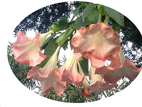 - Emerald TM Angels Trumpet Brugmansia Pink Peach Versicolor 4 Inch Starter Plant