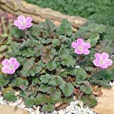1Pcs Erodium variabile, Bishop Form, Heron Bill Plants Fresh