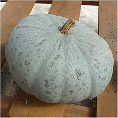 Package of 20 Seeds, Sweet Meat Winter Squash (Cucurbita maxima) Non-GMO Seeds By Seed Needs