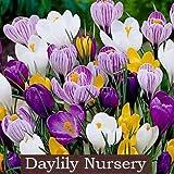 40 jumbo crocus mixture crocus vernus  flavus by daylily nursery