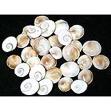 Very Rare 100% Original Natural Gomti Gomati Chakra - 51 pieces laxmi cowry ( Religious item ) Shell for Vastu dosh and to attract wealth