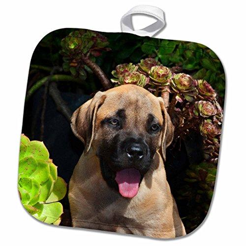 3dRose Danita Delimont - Zandria Muench Beraldo - Dogs - USA, California. Mastiff puppy portrait with succulents. - 8x8 Potholder (phl_192372_1)