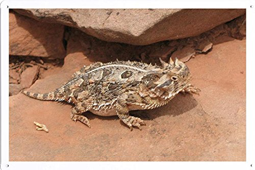 (Tin Poster (20x30cm) of Texas Horned Lizard 26307 by Global Animal Sign)