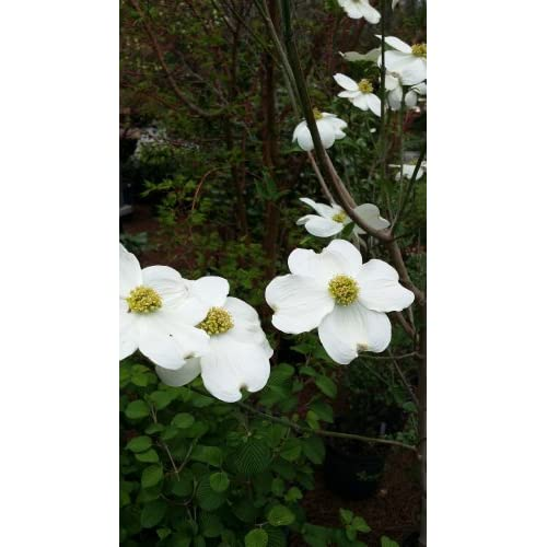 (1 gallon) White Dogwood Trees - Full of Beautiful White Blooms In April/May Before Leaves Flush Out, supplier