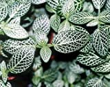 "Silver Nerve Plant - Fittonia verschaffeltii - 4""ceramic Pot color-red unique from-jmbamboo"