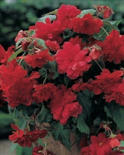 Pack x3 Begonia 'Cascade Red' Quality Summer Flowering Bulbs by EGBULBS