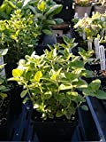 Nepetilla, calamintha Nepeta, Organic, 4in Potted Plant, Heirloom Plants, GMO Free Plants, Medicinal, Heirloom