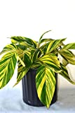 Shell Ginger, Alpinia zerumbet Variegata, Variegated,3 Gallon,(No Ship to CA,AZ)