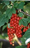 "Red CURRANT Berry ~Perfection~ ""Ribes Sativum"" NEW 15+ Perennial Seeds"