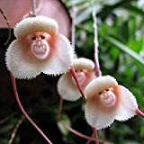 Potato001 20 Pcs Monkey Face Orchid Flower Seeds Bonsai Home Gardening Plant Seed
