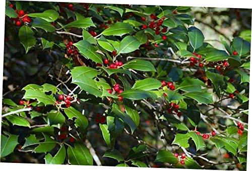 - plantyours 33 to 66 ft 2 Live Plants American Holly Trees Ilex OPACA RED Berries Bush Shrub Seedling - RK223