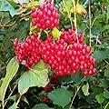 AMERICAN CRANBERRY Viburnum Trilobum BULK 100 seeds