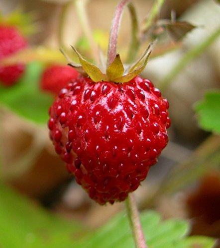 Alpine Strawberry - 'Fraise' Everbearing Alpine Strawberry - 4