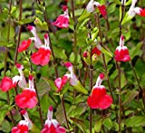 "Hot Lips - Salvia - Bicolor Blooms - 4"" Pot"