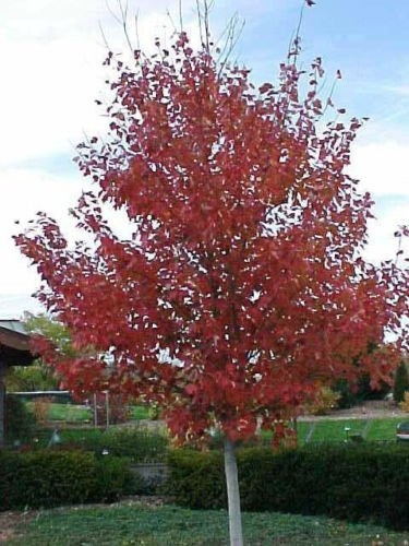Amazoncom 20 Red Sunset Red Maple Seeds Acer Rubrum Red Sunset