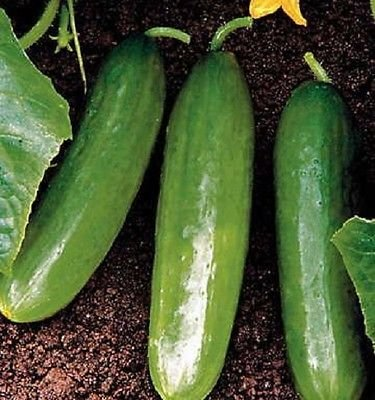 Cucumber Seeds Slicer Diva Hybrid 50 Cucumber Seeds Garden Starts Nursery - Hybrid Diva