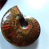 Rainbow Ammonite Fossil Natural Cleoniceras Iridesce Ammonite Fossil specimens Madagascar