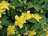 St John's Wort Aka Hypericum Calycinum Live Plant Groundcover Plant Fit 01 Gallon Pot