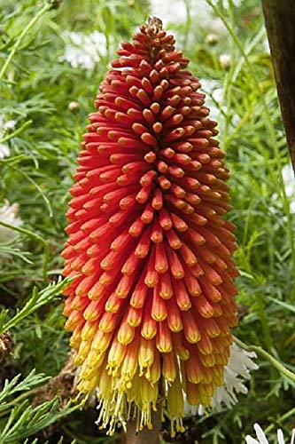 - Kniphofia Seeds (Red Hot Pokers) Perennial Flowers for Planting Organic Outdoor Non GMO 50 Seeds