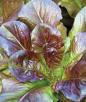 Red Romaine Lettuce Seed, Heirloom, Organic, Non Gmo, 100 Seeds, Garden Seed