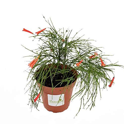 Sandys Nursery Online Firecracker Russelia equisetiformis 4 inch -