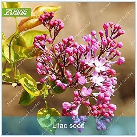 Shoopy Star 1 bolsa de 4270 semillas 10 g Chia Tai chino col ...