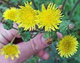 Spiny Sow Thistle/Sonchus Asper - 50 Seeds (Organically Grown)