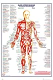 muscle diagram - Human Body Major Anterior Muscles Poster 24 x 36in